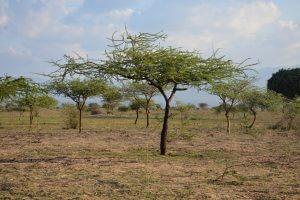 Kisiki Hai Tree